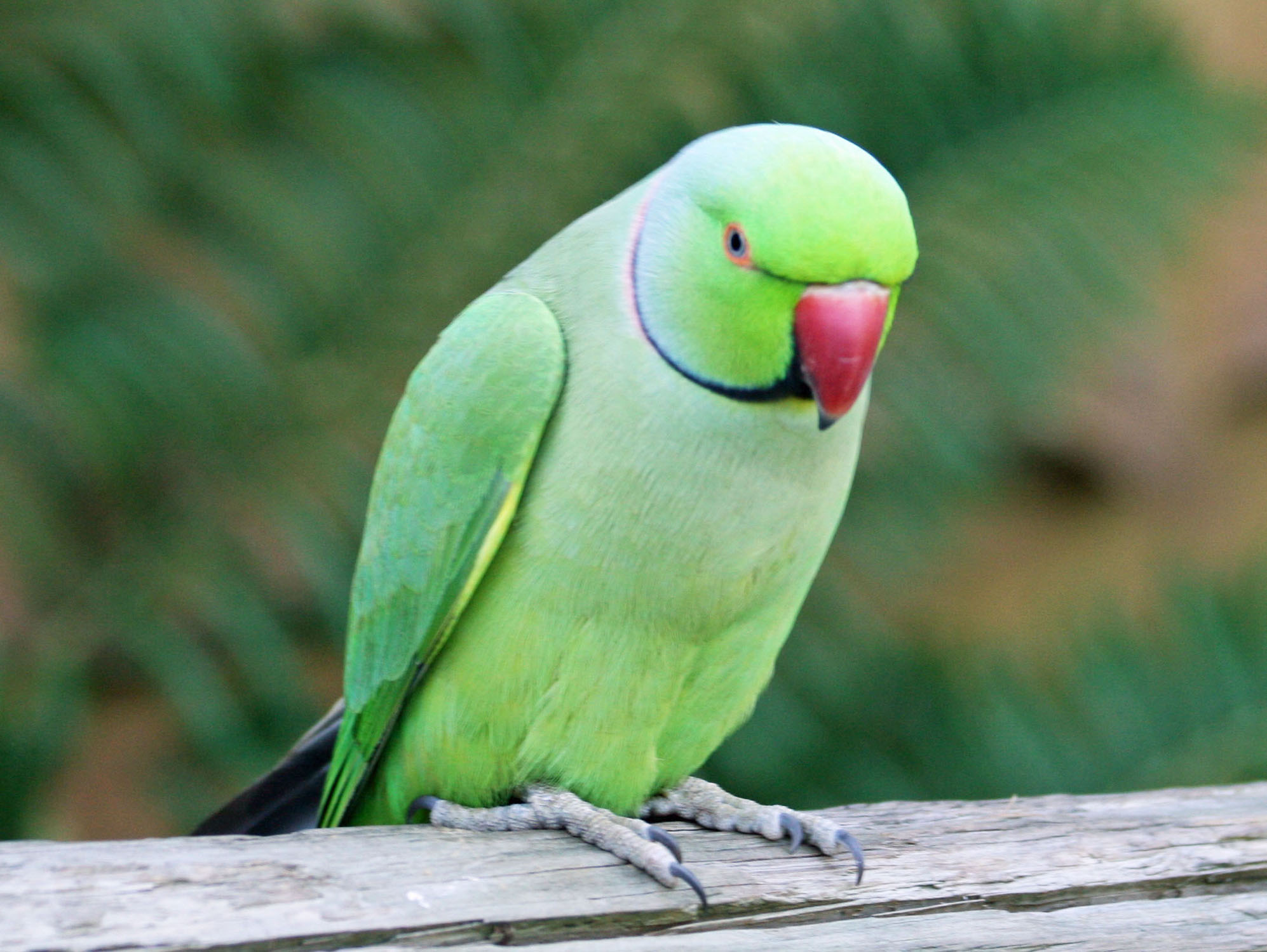 Parrot Article Essay an Short Word