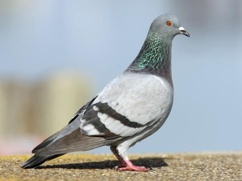 'Pigeon' Bird  Information of Pigeon