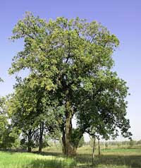 National Tree of India|About National Tree Essay Word